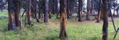 yellowstone-elk-rub-trees-770.jpg